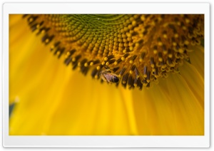 Bee On A Sunflower HD Wide Wallpaper for Widescreen