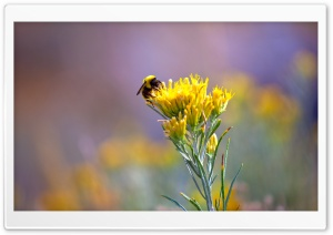Bee On A Yellow Flower HD Wide Wallpaper for Widescreen