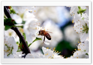 Bee On Cherry Flower HD Wide Wallpaper for Widescreen