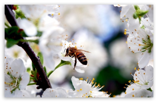 Bee On Cherry Flower HD wallpaper for Wide 16:10 5:3 Widescreen WHXGA WQXGA WUXGA WXGA WGA ; HD 16:9 High Definition WQHD QWXGA 1080p 900p 720p QHD nHD ; Standard 4:3 5:4 3:2 Fullscreen UXGA XGA SVGA QSXGA SXGA DVGA HVGA HQVGA devices ( Apple PowerBook G4 iPhone 4 3G 3GS iPod Touch ) ; Tablet 1:1 ; iPad 1/2/Mini ; Mobile 4:3 5:3 3:2 16:9 5:4 - UXGA XGA SVGA WGA DVGA HVGA HQVGA devices ( Apple PowerBook G4 iPhone 4 3G 3GS iPod Touch ) WQHD QWXGA 1080p 900p 720p QHD nHD QSXGA SXGA ; Dual 16:10 5:3 16:9 4:3 5:4 WHXGA WQXGA WUXGA WXGA WGA WQHD QWXGA 1080p 900p 720p QHD nHD UXGA XGA SVGA QSXGA SXGA ;
