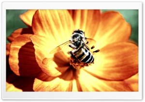 Bee on Flower HD Wide Wallpaper for 4K UHD Widescreen desktop & smartphone