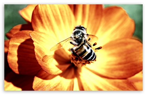 Bee on Flower ❤ 4K UHD Wallpaper for Wide 16:10 5:3 Widescreen WHXGA WQXGA WUXGA WXGA WGA ; 4K UHD 16:9 Ultra High Definition 2160p 1440p 1080p 900p 720p ; Standard 4:3 5:4 3:2 Fullscreen UXGA XGA SVGA QSXGA SXGA DVGA HVGA HQVGA ( Apple PowerBook G4 iPhone 4 3G 3GS iPod Touch ) ; Tablet 1:1 ; iPad 1/2/Mini ; Mobile 4:3 5:3 3:2 16:9 5:4 - UXGA XGA SVGA WGA DVGA HVGA HQVGA ( Apple PowerBook G4 iPhone 4 3G 3GS iPod Touch ) 2160p 1440p 1080p 900p 720p QSXGA SXGA ; Dual 5:4 QSXGA SXGA ;