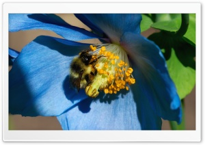 Bee On Himalayan Poppy HD Wide Wallpaper for Widescreen