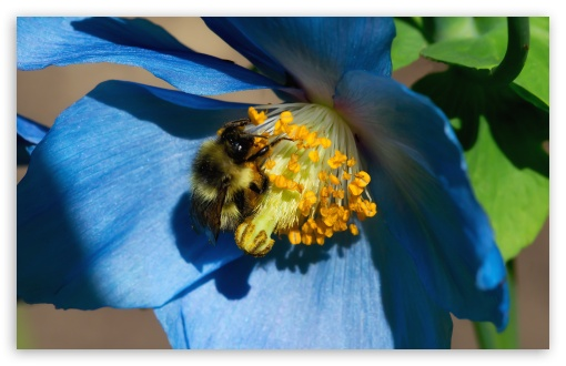 Bee On Himalayan Poppy ❤ 4K UHD Wallpaper for Wide 16:10 5:3 Widescreen WHXGA WQXGA WUXGA WXGA WGA ; 4K UHD 16:9 Ultra High Definition 2160p 1440p 1080p 900p 720p ; UHD 16:9 2160p 1440p 1080p 900p 720p ; Standard 4:3 5:4 3:2 Fullscreen UXGA XGA SVGA QSXGA SXGA DVGA HVGA HQVGA ( Apple PowerBook G4 iPhone 4 3G 3GS iPod Touch ) ; Smartphone 5:3 WGA ; Tablet 1:1 ; iPad 1/2/Mini ; Mobile 4:3 5:3 3:2 16:9 5:4 - UXGA XGA SVGA WGA DVGA HVGA HQVGA ( Apple PowerBook G4 iPhone 4 3G 3GS iPod Touch ) 2160p 1440p 1080p 900p 720p QSXGA SXGA ;