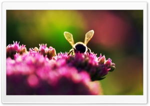 Bee On Pink Flowers, Macro HD Wide Wallpaper for Widescreen