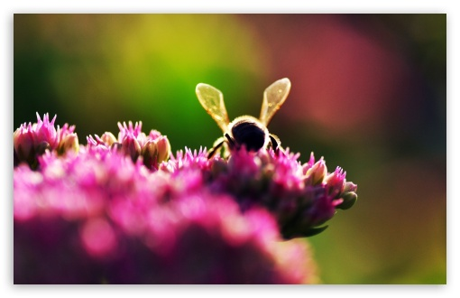 Bee On Pink Flowers, Macro HD wallpaper for Wide 16:10 5:3 Widescreen WHXGA WQXGA WUXGA WXGA WGA ; HD 16:9 High Definition WQHD QWXGA 1080p 900p 720p QHD nHD ; Standard 4:3 5:4 3:2 Fullscreen UXGA XGA SVGA QSXGA SXGA DVGA HVGA HQVGA devices ( Apple PowerBook G4 iPhone 4 3G 3GS iPod Touch ) ; Tablet 1:1 ; iPad 1/2/Mini ; Mobile 4:3 5:3 3:2 16:9 5:4 - UXGA XGA SVGA WGA DVGA HVGA HQVGA devices ( Apple PowerBook G4 iPhone 4 3G 3GS iPod Touch ) WQHD QWXGA 1080p 900p 720p QHD nHD QSXGA SXGA ; Dual 16:10 5:3 16:9 4:3 5:4 WHXGA WQXGA WUXGA WXGA WGA WQHD QWXGA 1080p 900p 720p QHD nHD UXGA XGA SVGA QSXGA SXGA ;