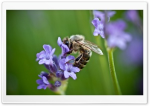Bee On Purple Flower HD Wide Wallpaper for Widescreen