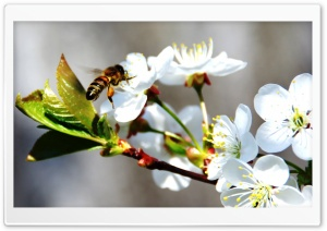 Bee On Spring Flowers HD Wide Wallpaper for 4K UHD Widescreen desktop & smartphone