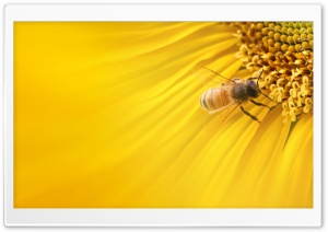 Bee On Sunflower HD Wide Wallpaper for Widescreen