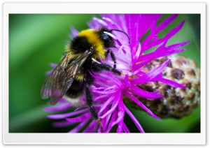 Bee on the Flower HD Wide Wallpaper for 4K UHD Widescreen desktop & smartphone