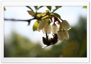 Bee On White Flower, Macro HD Wide Wallpaper for Widescreen