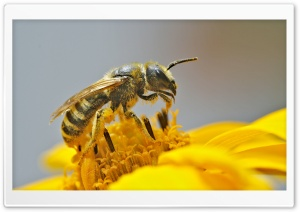 Bee Pollinating A Flower HD Wide Wallpaper for Widescreen