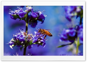 Bee, Purple Flower HD Wide Wallpaper for 4K UHD Widescreen desktop & smartphone