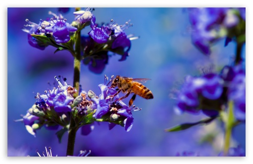 Bee, Purple Flower ❤ 4K UHD Wallpaper for Wide 16:10 5:3 Widescreen WHXGA WQXGA WUXGA WXGA WGA ; UltraWide 21:9 24:10 ; 4K UHD 16:9 Ultra High Definition 2160p 1440p 1080p 900p 720p ; UHD 16:9 2160p 1440p 1080p 900p 720p ; Standard 4:3 5:4 3:2 Fullscreen UXGA XGA SVGA QSXGA SXGA DVGA HVGA HQVGA ( Apple PowerBook G4 iPhone 4 3G 3GS iPod Touch ) ; Smartphone 3:2 5:3 DVGA HVGA HQVGA ( Apple PowerBook G4 iPhone 4 3G 3GS iPod Touch ) WGA ; Tablet 1:1 ; iPad 1/2/Mini ; Mobile 4:3 5:3 3:2 16:9 5:4 - UXGA XGA SVGA WGA DVGA HVGA HQVGA ( Apple PowerBook G4 iPhone 4 3G 3GS iPod Touch ) 2160p 1440p 1080p 900p 720p QSXGA SXGA ;