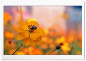 Bee Sitting On A Orange Flower HD Wide Wallpaper for 4K UHD Widescreen desktop & smartphone