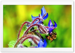 Bee, Starflower HD Wide Wallpaper for Widescreen
