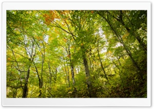 Beech Forest HD Wide Wallpaper for Widescreen