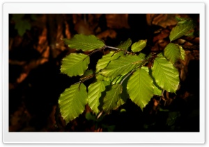 Beech Tree Leaves HD Wide Wallpaper for Widescreen