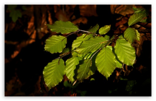 Beech Tree Leaves HD wallpaper for Wide 16:10 5:3 Widescreen WHXGA WQXGA WUXGA WXGA WGA ; HD 16:9 High Definition WQHD QWXGA 1080p 900p 720p QHD nHD ; UHD 16:9 WQHD QWXGA 1080p 900p 720p QHD nHD ; Standard 4:3 5:4 3:2 Fullscreen UXGA XGA SVGA QSXGA SXGA DVGA HVGA HQVGA devices ( Apple PowerBook G4 iPhone 4 3G 3GS iPod Touch ) ; Tablet 1:1 ; iPad 1/2/Mini ; Mobile 4:3 5:3 3:2 16:9 5:4 - UXGA XGA SVGA WGA DVGA HVGA HQVGA devices ( Apple PowerBook G4 iPhone 4 3G 3GS iPod Touch ) WQHD QWXGA 1080p 900p 720p QHD nHD QSXGA SXGA ; Dual 5:4 QSXGA SXGA ;