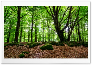 Beech Woods Ultra HD Wallpaper for 4K UHD Widescreen desktop, tablet & smartphone