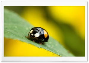 Beetle Macro HD Wide Wallpaper for Widescreen