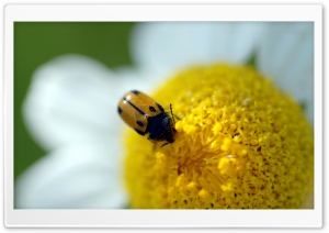 Beetle On A Daisy HD Wide Wallpaper for Widescreen