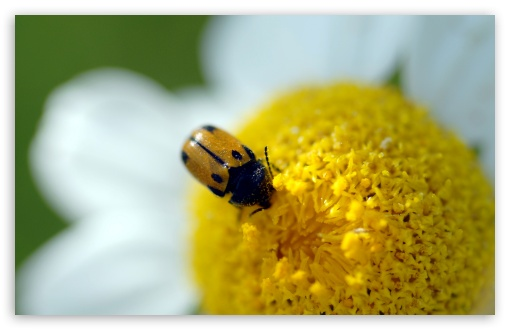 Beetle On A Daisy HD wallpaper for Wide 16:10 5:3 Widescreen WHXGA WQXGA WUXGA WXGA WGA ; HD 16:9 High Definition WQHD QWXGA 1080p 900p 720p QHD nHD ; UHD 16:9 WQHD QWXGA 1080p 900p 720p QHD nHD ; Standard 4:3 5:4 3:2 Fullscreen UXGA XGA SVGA QSXGA SXGA DVGA HVGA HQVGA devices ( Apple PowerBook G4 iPhone 4 3G 3GS iPod Touch ) ; Tablet 1:1 ; iPad 1/2/Mini ; Mobile 4:3 5:3 3:2 16:9 5:4 - UXGA XGA SVGA WGA DVGA HVGA HQVGA devices ( Apple PowerBook G4 iPhone 4 3G 3GS iPod Touch ) WQHD QWXGA 1080p 900p 720p QHD nHD QSXGA SXGA ;
