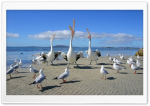 Beggars Pelicans And Seagulls HD Wide Wallpaper for Widescreen