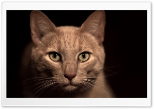 Beige Cat HD Wide Wallpaper for Widescreen