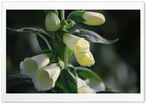 Bell Flowers Ultra HD Wallpaper for 4K UHD Widescreen desktop, tablet & smartphone