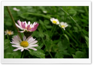 Bellis HD Wide Wallpaper for Widescreen