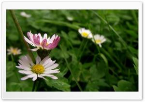 Bellis HD Wide Wallpaper for Widescreen