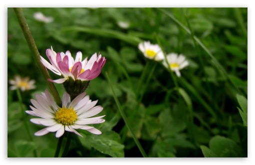 Bellis ❤ 4K UHD Wallpaper for Wide 16:10 5:3 Widescreen WHXGA WQXGA WUXGA WXGA WGA ; 4K UHD 16:9 Ultra High Definition 2160p 1440p 1080p 900p 720p ; UHD 16:9 2160p 1440p 1080p 900p 720p ; Standard 4:3 5:4 3:2 Fullscreen UXGA XGA SVGA QSXGA SXGA DVGA HVGA HQVGA ( Apple PowerBook G4 iPhone 4 3G 3GS iPod Touch ) ; Tablet 1:1 ; iPad 1/2/Mini ; Mobile 4:3 5:3 3:2 16:9 5:4 - UXGA XGA SVGA WGA DVGA HVGA HQVGA ( Apple PowerBook G4 iPhone 4 3G 3GS iPod Touch ) 2160p 1440p 1080p 900p 720p QSXGA SXGA ; Dual 4:3 5:4 UXGA XGA SVGA QSXGA SXGA ;