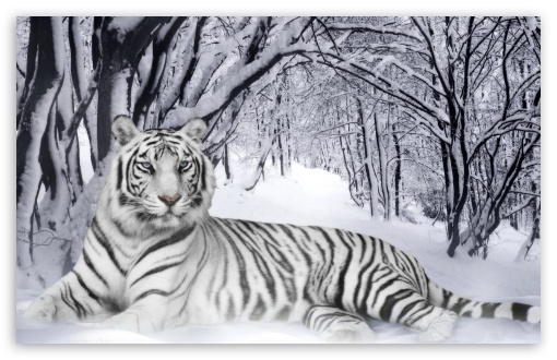 Bengal Tiger UltraHD Wallpaper for Wide 16:10 5:3 Widescreen WHXGA WQXGA WUXGA WXGA WGA ; 8K UHD TV 16:9 Ultra High Definition 2160p 1440p 1080p 900p 720p ; Standard 3:2 Fullscreen DVGA HVGA HQVGA ( Apple PowerBook G4 iPhone 4 3G 3GS iPod Touch ) ; Mobile 5:3 3:2 16:9 - WGA DVGA HVGA HQVGA ( Apple PowerBook G4 iPhone 4 3G 3GS iPod Touch ) 2160p 1440p 1080p 900p 720p ;