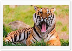 Bengal Tiger Lying In The Grass And Yawning HD Wide Wallpaper for Widescreen