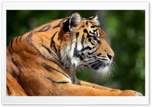 Bengal Tiger Profile HD Wide Wallpaper for Widescreen
