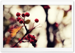 Berries And Twigs HD Wide Wallpaper for Widescreen