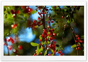 Berries Branches HD Wide Wallpaper for Widescreen