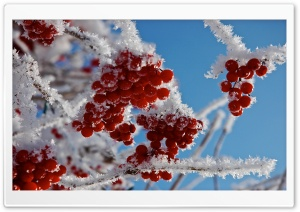Berries In Winter HD Wide Wallpaper for Widescreen