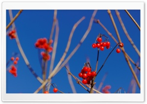 Berrys in Winter HD Wide Wallpaper for Widescreen