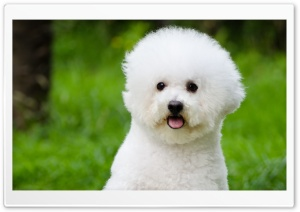 Bichon Frise HD Wide Wallpaper for Widescreen