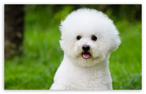 Bichon Frise ❤ 4K UHD Wallpaper for Wide 16:10 5:3 Widescreen WHXGA WQXGA WUXGA WXGA WGA ; 4K UHD 16:9 Ultra High Definition 2160p 1440p 1080p 900p 720p ; Standard 4:3 5:4 3:2 Fullscreen UXGA XGA SVGA QSXGA SXGA DVGA HVGA HQVGA ( Apple PowerBook G4 iPhone 4 3G 3GS iPod Touch ) ; Smartphone 5:3 WGA ; Tablet 1:1 ; iPad 1/2/Mini ; Mobile 4:3 5:3 3:2 16:9 5:4 - UXGA XGA SVGA WGA DVGA HVGA HQVGA ( Apple PowerBook G4 iPhone 4 3G 3GS iPod Touch ) 2160p 1440p 1080p 900p 720p QSXGA SXGA ;