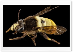 Big Bee Ultra HD Wallpaper for 4K UHD Widescreen desktop, tablet & smartphone