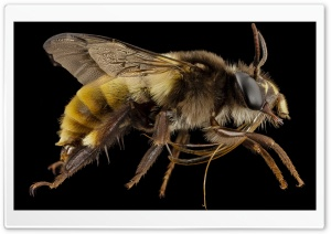 Big Bee Insect HD Wide Wallpaper for 4K UHD Widescreen desktop & smartphone