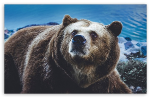 big brown bear wild animal wallpapers