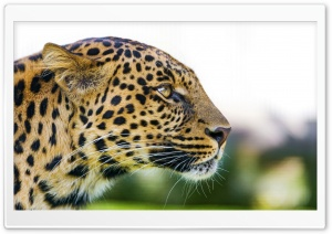 Big Cat Leopard Portrait Side View HD Wide Wallpaper for Widescreen
