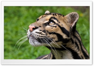 Big Cat With Black Lines HD Wide Wallpaper for Widescreen