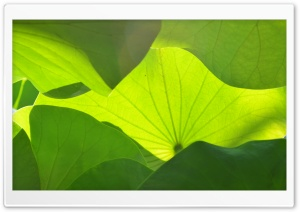 Big Green Leaves HD Wide Wallpaper for Widescreen