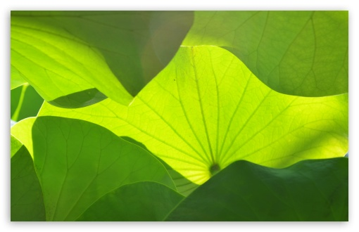 Big Green Leaves ❤ 4K UHD Wallpaper for Wide 16:10 5:3 Widescreen WHXGA WQXGA WUXGA WXGA WGA ; 4K UHD 16:9 Ultra High Definition 2160p 1440p 1080p 900p 720p ; UHD 16:9 2160p 1440p 1080p 900p 720p ; Standard 4:3 5:4 3:2 Fullscreen UXGA XGA SVGA QSXGA SXGA DVGA HVGA HQVGA ( Apple PowerBook G4 iPhone 4 3G 3GS iPod Touch ) ; Smartphone 5:3 WGA ; Tablet 1:1 ; iPad 1/2/Mini ; Mobile 4:3 5:3 3:2 16:9 5:4 - UXGA XGA SVGA WGA DVGA HVGA HQVGA ( Apple PowerBook G4 iPhone 4 3G 3GS iPod Touch ) 2160p 1440p 1080p 900p 720p QSXGA SXGA ;
