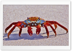 Big Red Crab Macro HD Wide Wallpaper for Widescreen